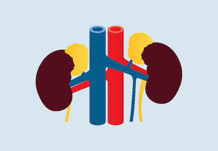 Animated picture of a kidney